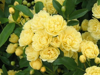 Greenheart Farms Climbing Roses